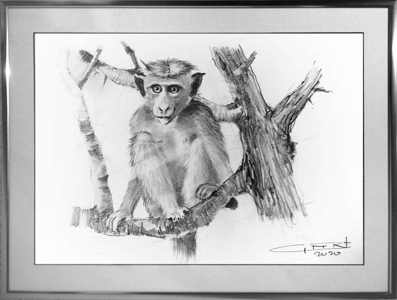 Apen op Sri Lanka